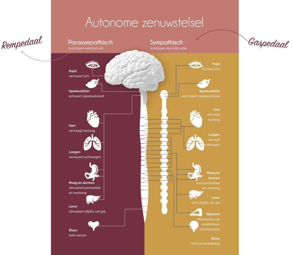 Autonome zenuwstelsel infographic