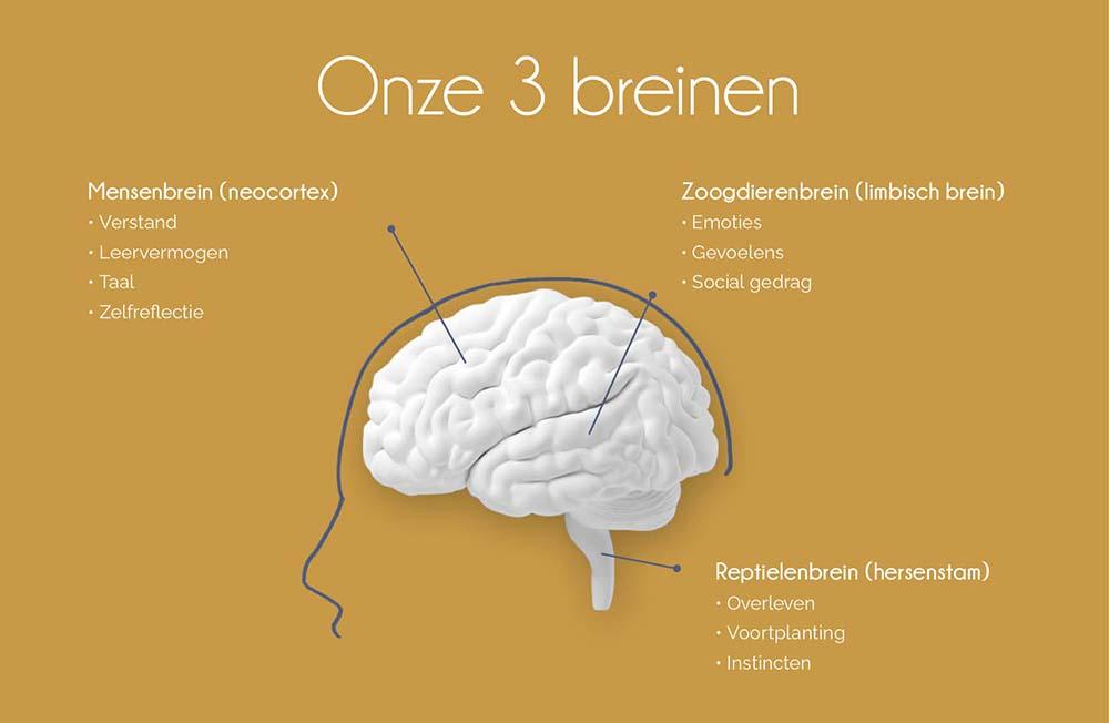 Onze 3 breinen